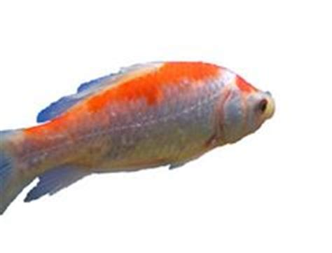1000+ Images About Fish Disease On Pinterest  Aquarium. Coated Signs. Sheep Signs Of Stroke. Traffic Singapore Signs. Icu Signs. Wellness Signs. Chemical Signs. Ecg Signs. Stuff Signs Of Stroke