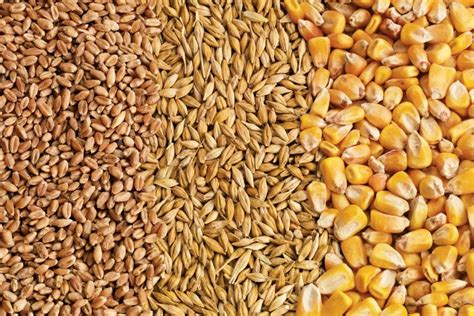 feed weekly outlook durum red spring wheat head  feed