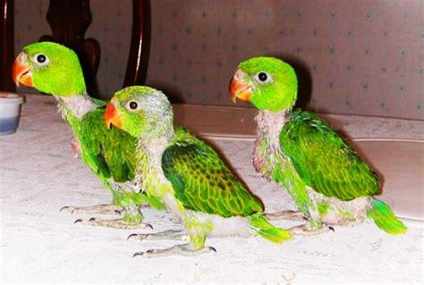 quaker parakeet quaker parrot monk parakeet facts diet lifespan pet care pictures
