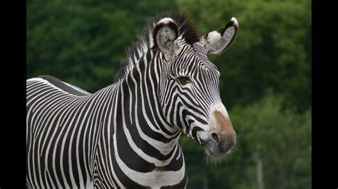 zebra animals  children kids  kindergarten
