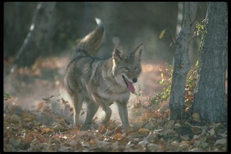 Coyote (canis Latrans) {!--코요테--> Happy; Display Full Image
