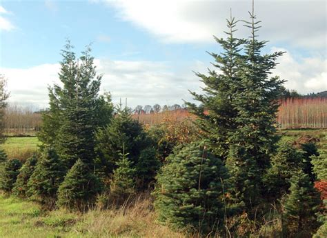 oregon christmas trees delivered nw sw portland