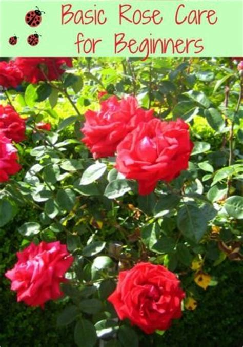 growing roses for beginners basic rose care for beginners how to care for roses put a banana peel in the planting hole to