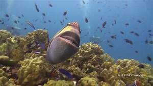 Titan Triggerfish Attack (45) | Stock Video For Sale - YouTube