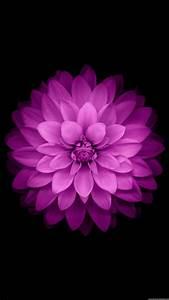 Purple, Flower, Black, Background, Wallpapers, Hd, Desktop