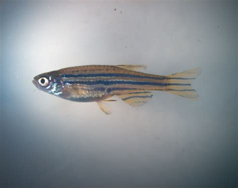 zebrafish regrow fins  multiple cell types
