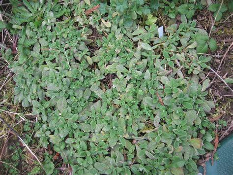 evergreen ground cover top 28 evergreen ground cover top 28 evergreen ground cover weeding on the wild weeding on
