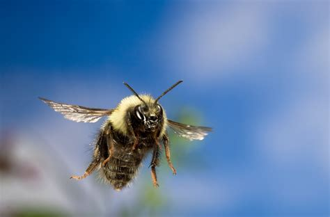 Bumblebees Can Fly Higher Than Mount Everest, Scientists