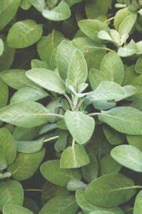 La Sauge Plante : la plante l 39 honneur en septembre la sauge yves borgers ~ Melissatoandfro.com Idées de Décoration