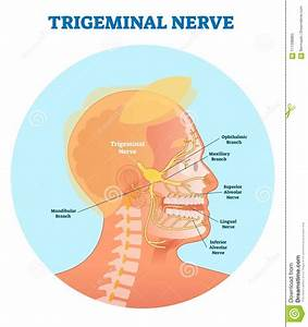 Trigeminal Nerve Anatomical Vector Illustration Diagram