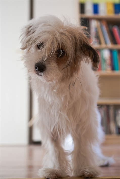 chinese crested powderpuff images  pinterest