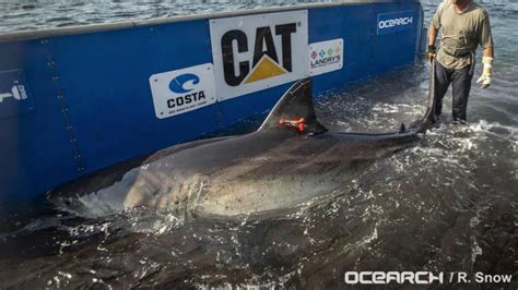 great white shark katharine   pregnant