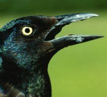 how to get rid of grackles bird x bird control