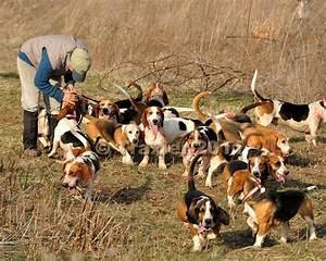 beagles | Full Cry: A Hound Blog