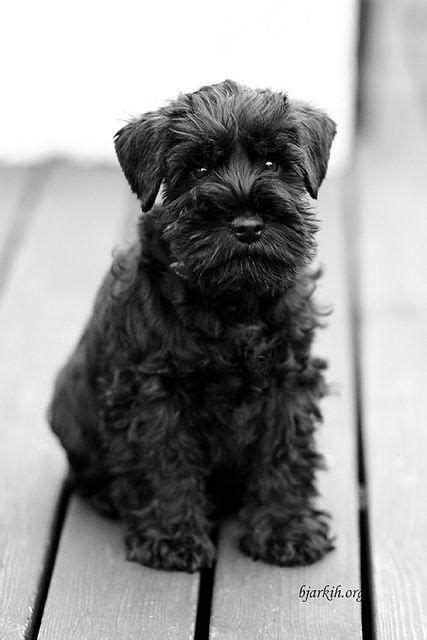"""Learn more info on """"schnauzer dog""""x. Browse through our"""