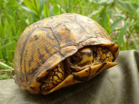 eastern box turtle hotline  wildlife