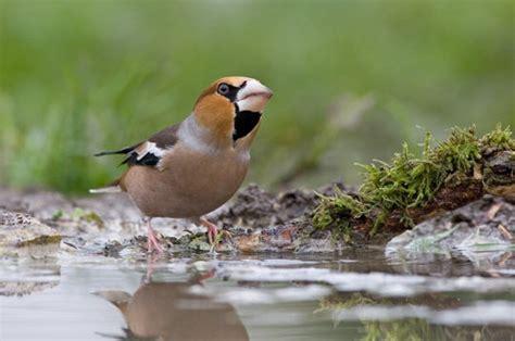 le chauffante pour oiseaux grosbec casse noyaux 14 photos d oiseaux de par david me 239 er