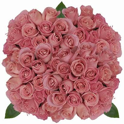Hermosa Pink Roses Antique Natural Globalrose Flowers