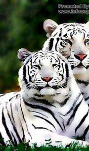 White Tigers wild animals   Wild animal wallpaper, Tiger ...