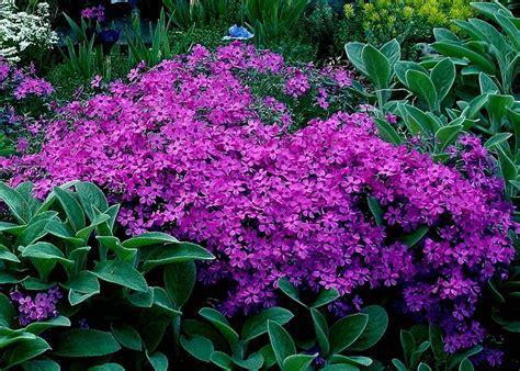 creeping phlox creeping phlox blooms and container gardening pinterest