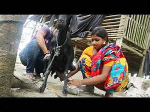 How to learn milking cow by woman | Doovi