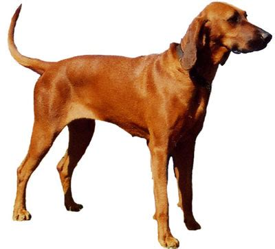 coonhound shedding redbone coonhound history temperament
