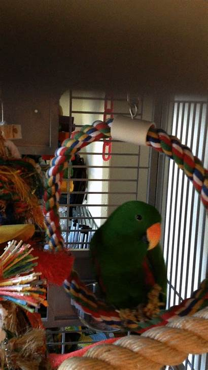 Swing Parrot Snack Gifer Richmond Perch