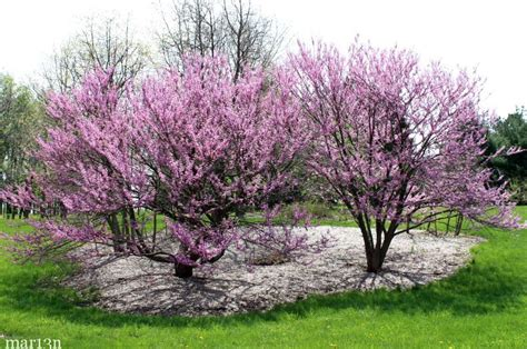 cercis canadensis japanese tree lilac syringa reticulata trees landscapes