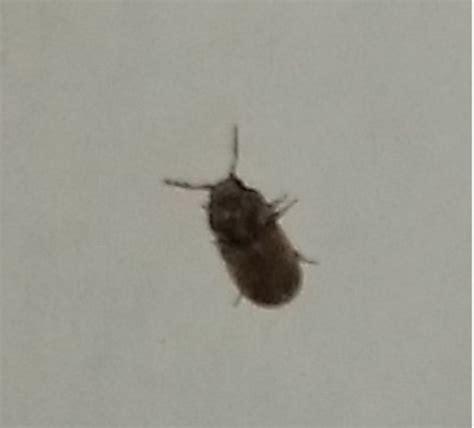 insetti neri volanti probabile anobiidae cfr stegobium sp forum natura