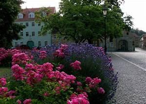 Rosen Und Lavendel : lavendel in einer rosenrabatte lavendel als optimale rosenbegleitpflanzungstaltung ~ Yasmunasinghe.com Haus und Dekorationen