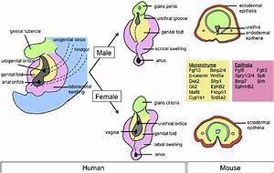 A Schematic Diagram Of Sexual Differentiation Of External