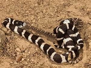 The gallery for --> Kingsnake Eating Rattlesnake