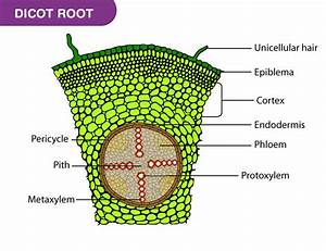 Hair Root Under Microscope Labeled