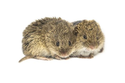 what is a vole voles console mates in distress express empathy mnn mother nature network