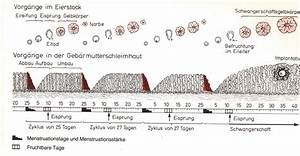 Zyklus Eisprung Berechnen : befruchtung schwangerschaft geburt ~ Themetempest.com Abrechnung