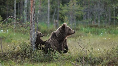 mother brown bears protect cubs  human shields