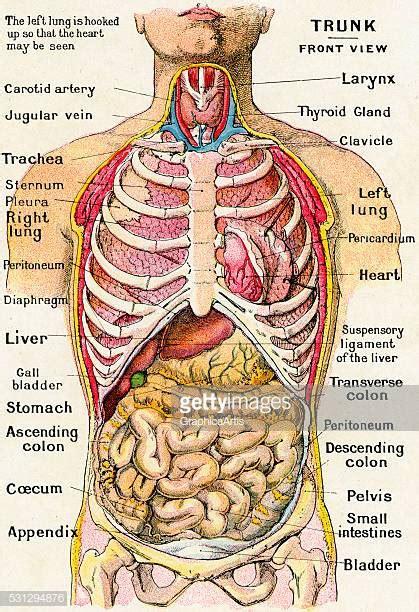 human internal organ stock illustrations  cartoons