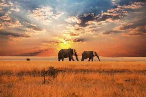 chambre d h e tableau brillant éléphants en afrique dans la savane