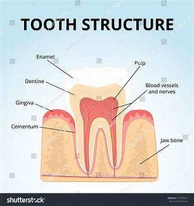 Structure Human Teeth Medical Diagram Structure Stock ...
