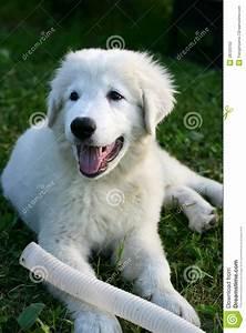 White Sheepdog Puppy Playing Stock Photo - Image: 28720752