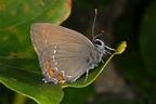 European Lepidoptera and their ecology: Satyrium ilicis