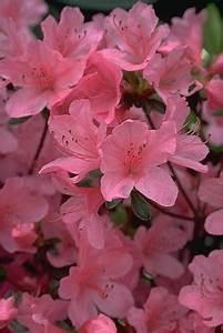 Eisendünger Selbst Herstellen : azalee azalea indica rhododendron i eisend nger ~ Lizthompson.info Haus und Dekorationen