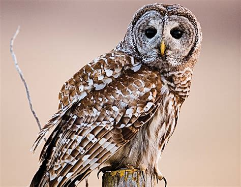 Barred Owl Nest A Backyard Wildlife Watching Treat