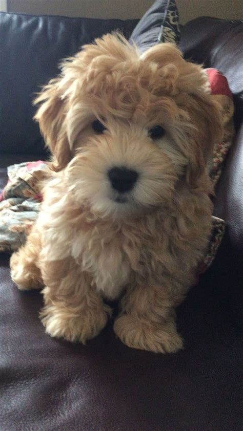whoodle puppies images  pinterest whoodle
