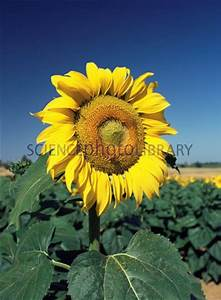 35 Best Images About Sunflower Science For Kids  On