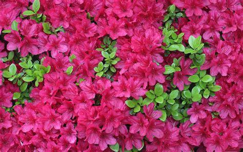 flowers fuschia fuchsia colored flowers wallpaper
