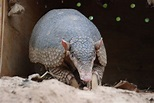 Giant Armadillos Are the Team Players of the Animal ...