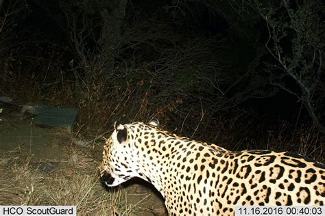 Jaguars Az by Another Jaguar Has Been Spotted In The Us