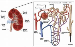 Patient Education  Nephron Structure
