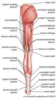 Human Anatomy Leg Muscles Diagram